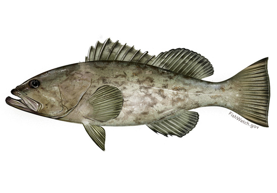 Gag grouper illustration