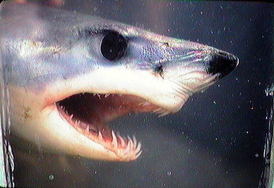 Shortfin mako shark head from the side with mouth open showing how the teeth from the lower jaw protrude from the mouth.