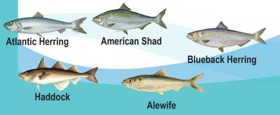 Atlantic Herring, American Shad, Blueback Herring (top row), Haddock, Alewife (bottom row)