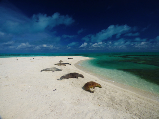 Several Hawaiian monk seals on a small islet in the Northwestern Hawaiian Islands