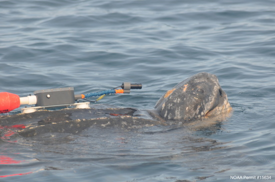 Leatherback-SuaLeatherback turtle with suction cup-mounted video camera system photographed offshore of central California. Photo: NOAA Fisheries/Scott BensonctionCupCamera-SWFSC-MMTD-ScottBenson.jpg