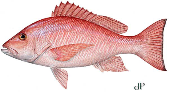 fish-image-red-snapper-lcamp.png