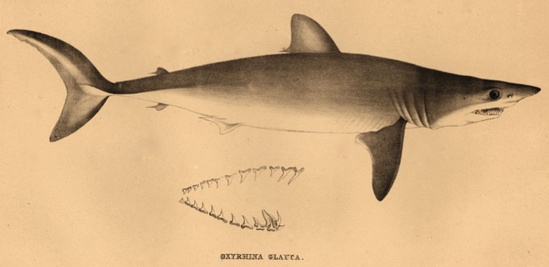 Short fin mako shark