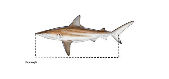 Fork length_shark.png