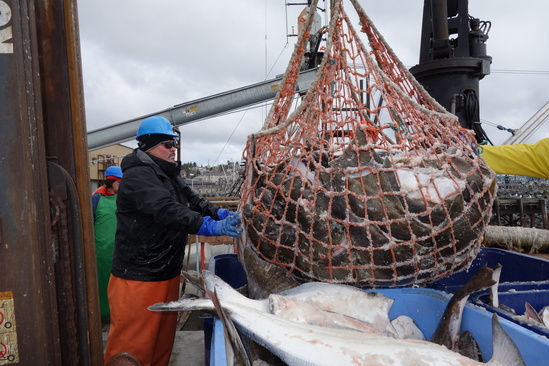 halibut-commercial-offloading.JPG