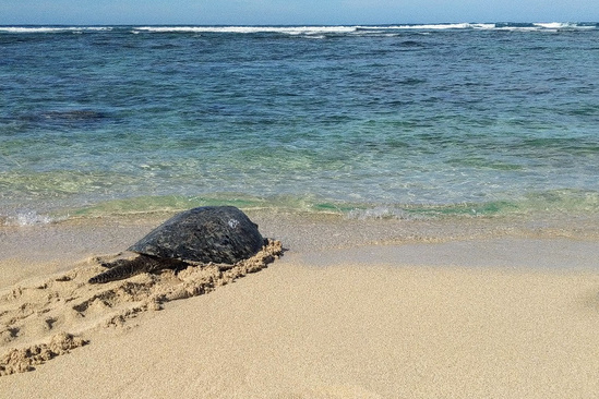 750x500-hawaiian-green-sea-turtle-1036-being-released-NOAA-PIRO.jpg