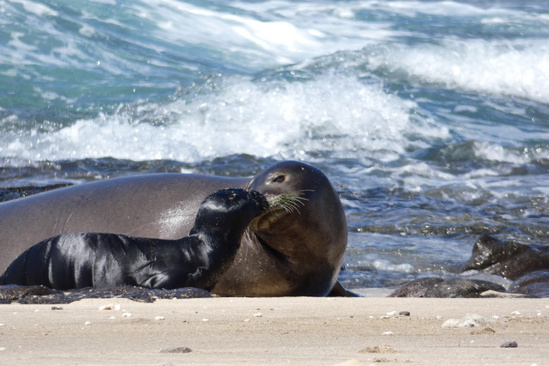Hawaiian monk seal mom and pup looking at each other on a beach.