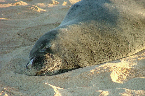 Monk seal sleeping on a beach.