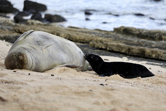 Hawaiian monk seal mom and pup.