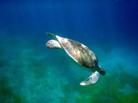 green-turtle-turner-SWFSC.jpg