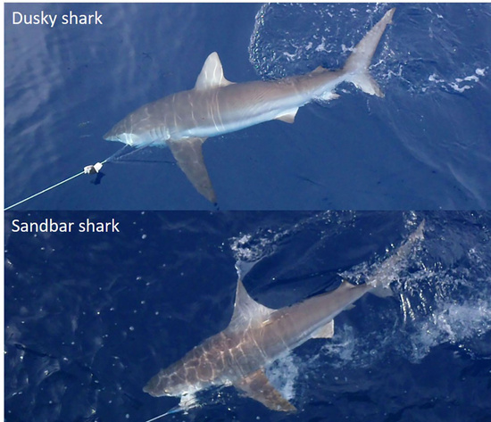Dusky and sandbar sharks viewed from the side while hooked on longline gear at the water's surface showing how the first dorsal fin on the sandbar shark is larger and further forward than that of the dusky shark.