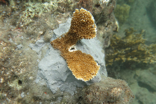 A small piece of coral cemented to a rocky reef