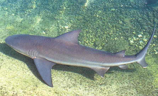 Bull shark swimming on the seafloor with a side view of its triangular, rearward sloping, first dorsal fin