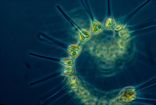 An image of a chain forming diatom