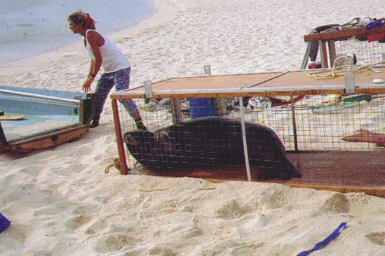 Adult monk seal being transported to the main Hawaiian Islands.