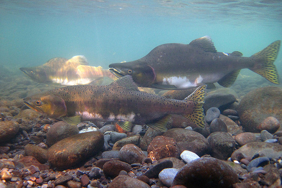 Pink salmon swimming along a river bottom.