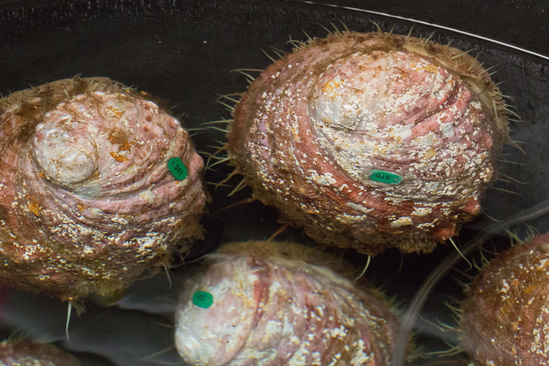 Tagged white abalone in laboratory.
