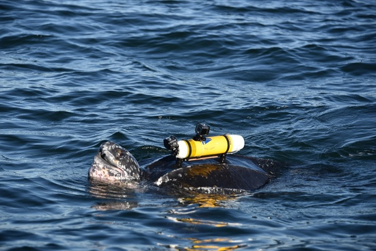 Leatherback sea turtle wearing camera