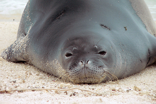 Close-up photo of a Hawaiian monk seal laying on the beach.