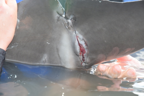 Dolphin disentangle April 2019 injury.jpg