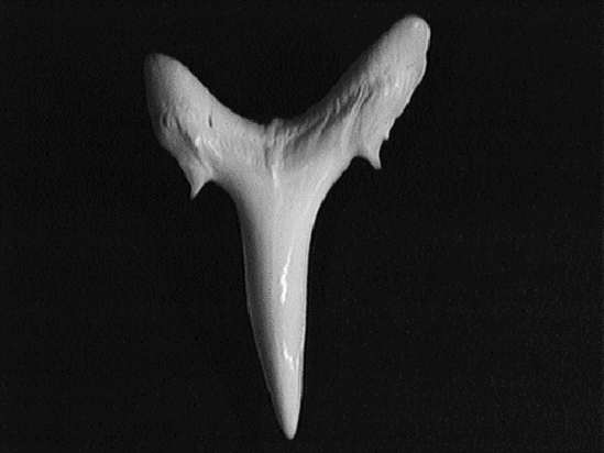Single sand tiger tooth showing smooth, stout, slender triangular shape with a small peak or cusplet on either side of the curved base of the tooth.