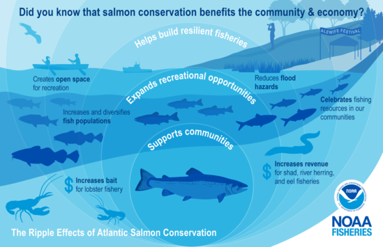 "This illustration is color-coded in shades of blue and shows the benefits of salmon conservation for the community and economy. It highlights examples of the ""ripple effects"" with an illustration of expanding circles over a river connected to the ocean with an Atlantic salmon at the center. The salmon swims upstream to the right surrounded by a restored coastline represented by smaller salmon, schooling river herring, Atlantic cod, striped bass, lobsters, and an American eel. In the background is a lobster boat, canoe, birdwatcher, and Alewife Festival tent to show improved fishing and community resources."