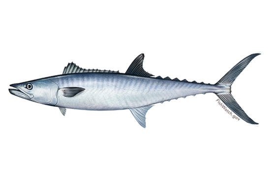640x427-king-mackerel.png
