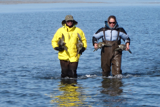 Two scientists carry two sea turtles each while wading in the water