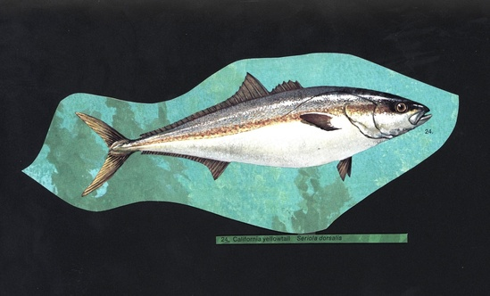 California yellowtail (Seriola lalandi) illustration from the NOAA Central Library Historical Fisheries Collection.