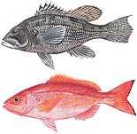 Black sea bass and vermilion snapper