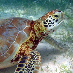 Green Seagrass Turtle