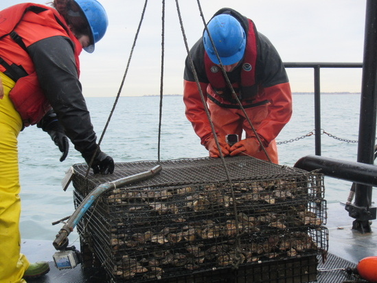 Stacked tray style oyster cage.JPG