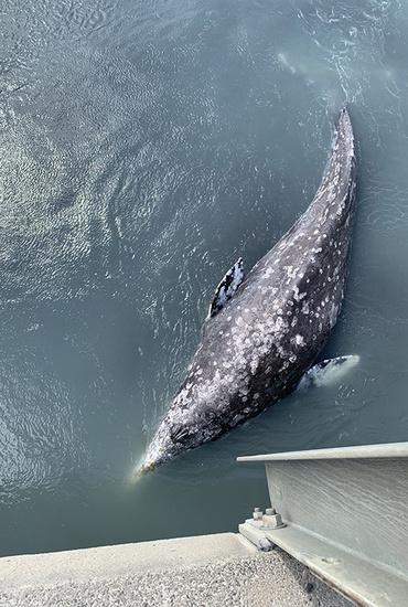 750x500 20mile river gray whale.jpg
