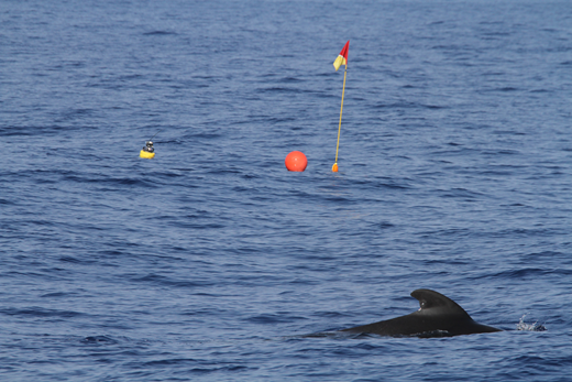 Pilot whale swimming near drifting acoustic buoy. Photo: NOAA Fisheries/Jay Barlow