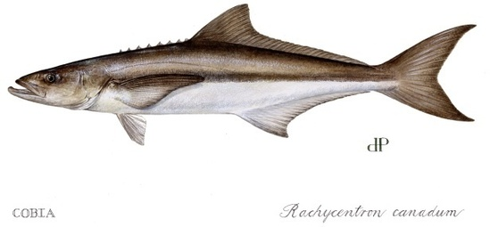 fish-cobia image by diane pebbles.JPG