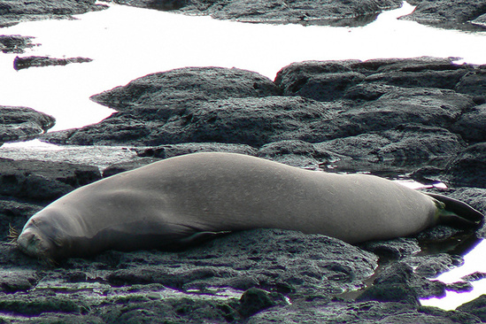 Hawaiian monk seal resting on the rocks.