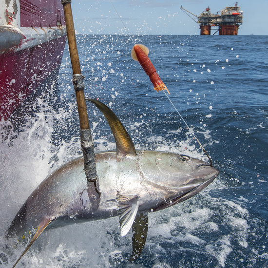 A yellowfin tuna caught on greenstick gear is hauled onto the F/V Queensland, participating in the program.