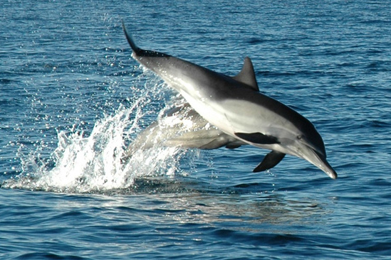 A photo of a long-beaked common dolphin swimming.