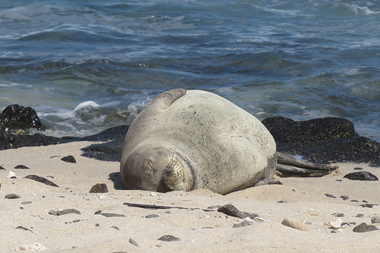 Weaned monk seal sleeping on the beach.