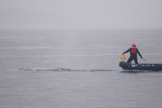 A large whale entanglement response network member prepares to attach a satellite tracking buoy to the whale