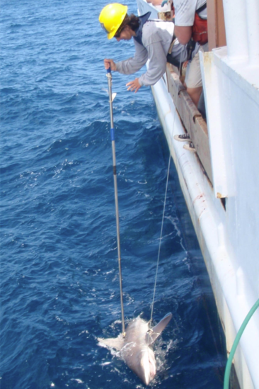 Biologist tagging a sandbar shark in the water from a large research vessel using a long tag pole.
