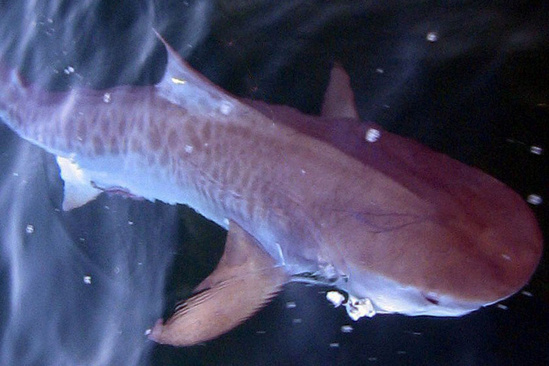 Tiger shark swimming near the surface showing its broad head and leopard-like pattern along the body