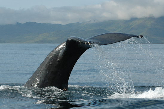 Sperm whale flukes against mountains