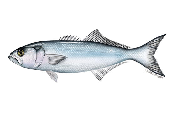 Drawing of a bluefish.