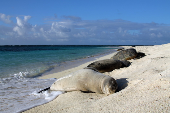Hawaiian monk seal and green sea turtles at Tern Island, French Frigate Shoals
