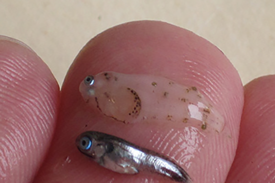 Tiney young fish displayed on a man's finger tip