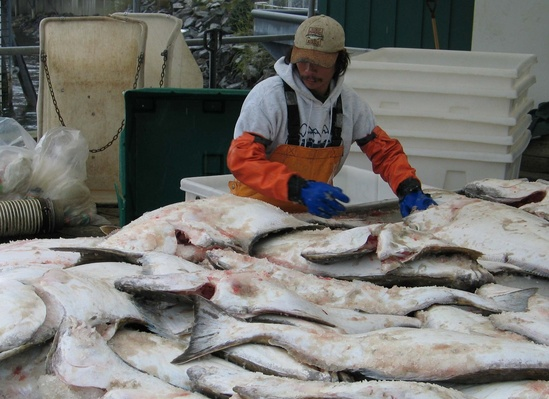 sorting-halibut-taku.jpg
