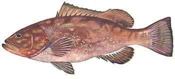 red grouper image