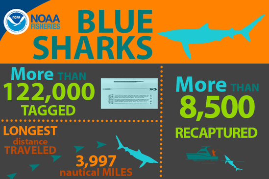 NOAA Fisheries Blue Sharks Inforgraphic, More than 122,000 tagged, More than 8,500 recaptured, Longest distance traveled 3,997 nautical miles.