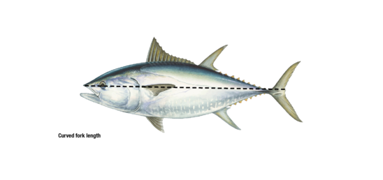 Curved fork length_bluefin tuna.png